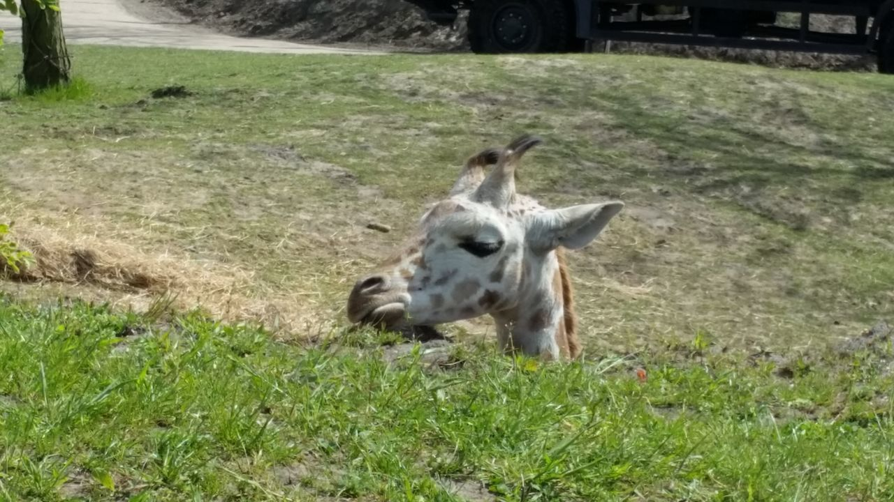 animal themes, grass, field, one animal, mammal, animals in the wild, day, nature, outdoors, no people, domestic animals