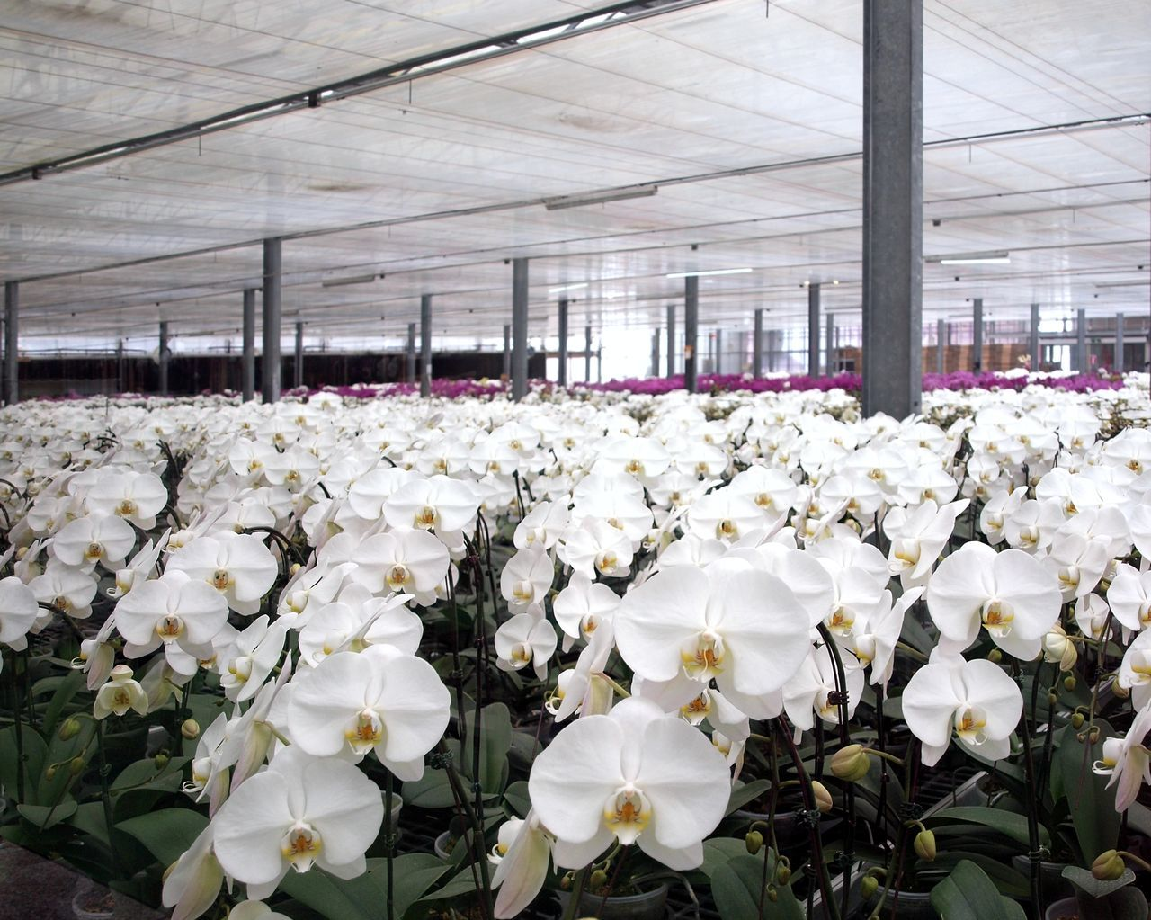 Orchids of the Phalaenopsis genus in a large agricultural growing facility Agriculture Flower Flower Head Flower Pots Greenhouse Horticulture No People Orchid Orchid Gardens Phalaenopsis Phalaenopsis Orchid Plant Nursery Potted Plants White Orchids