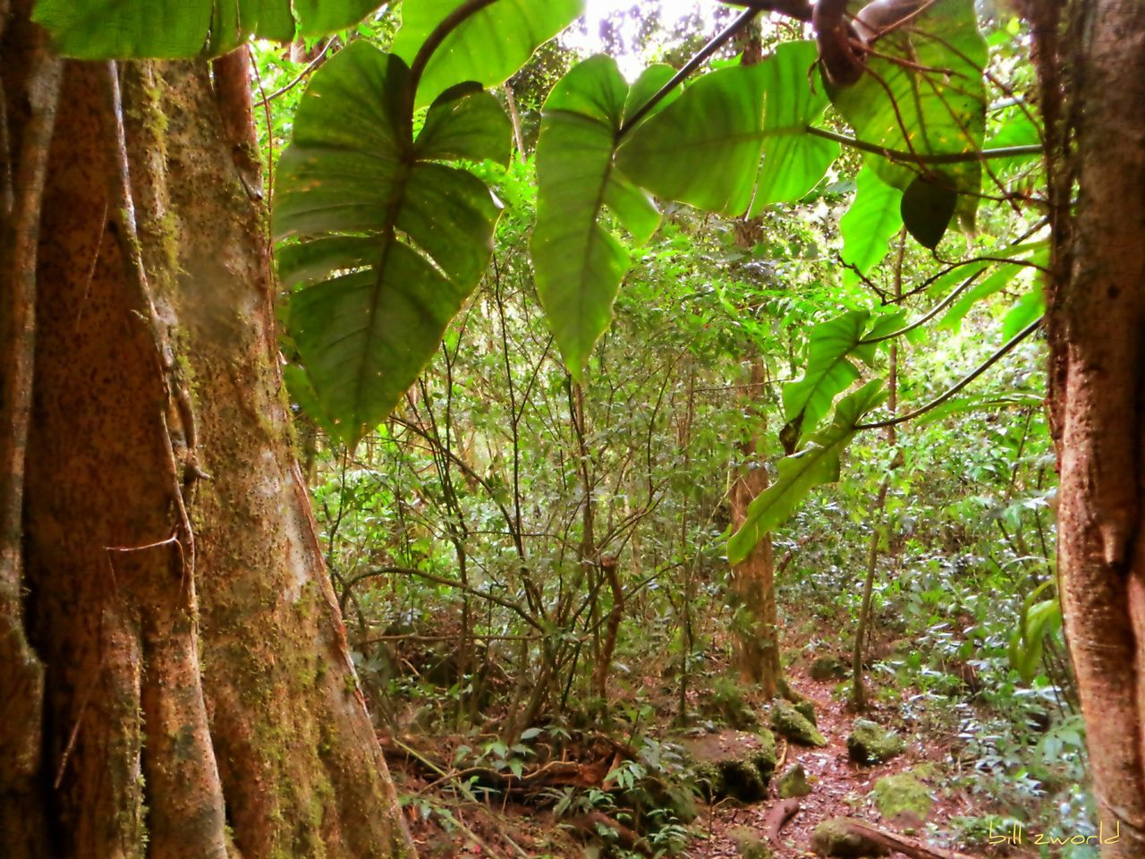 jungle window Traveling Natural Beauty Panamá Jungle Tropical Rainforest Leaves And Vines Pathways Strangler Fig No People