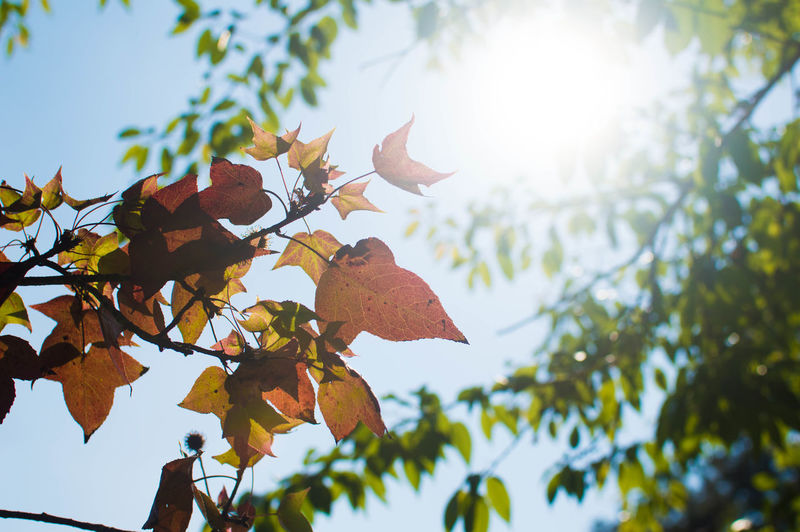 The autumn leaves of red and gold. Autumnleaves #tree Beauty In Nature Leaf Nature Sunlight