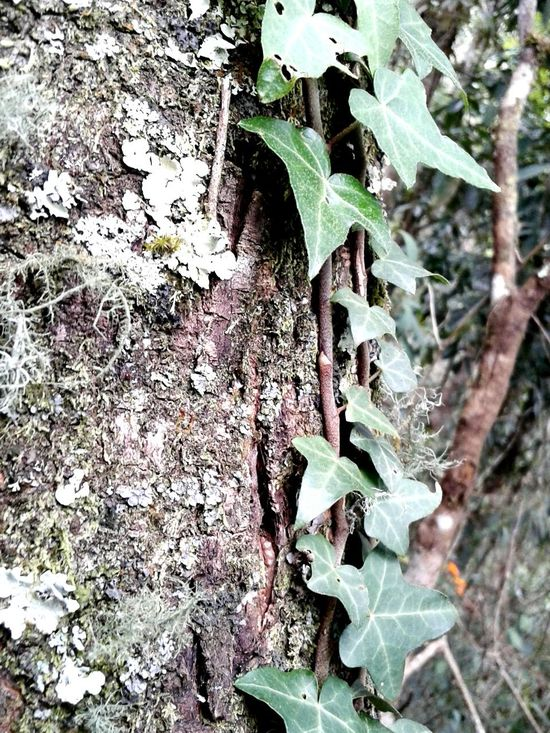 Tree Trunk Beatiful Details Convolvulus Climbing Plant Leaves Only Leaves