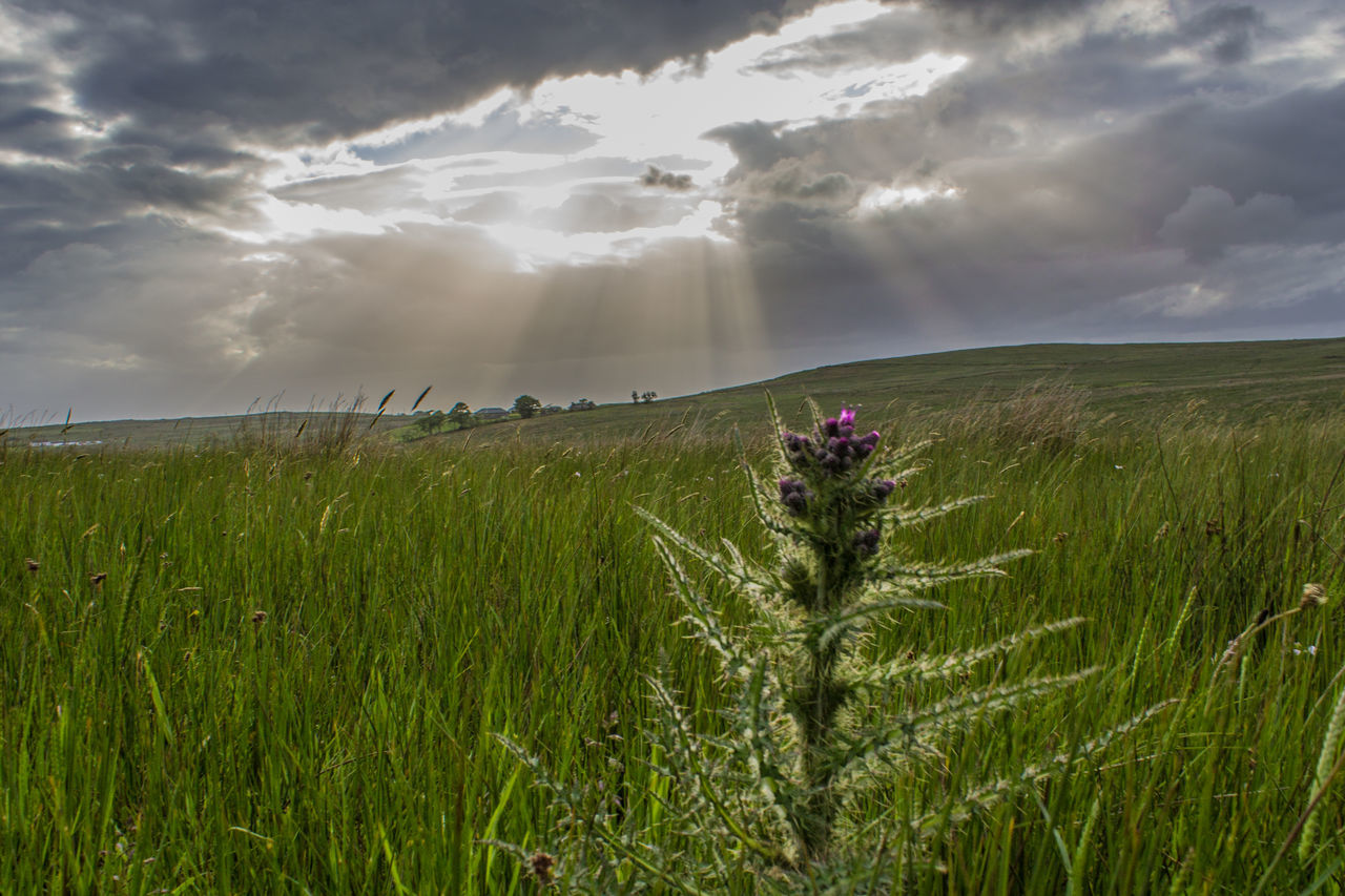 Flower Field Agriculture Cloud - Sky Growth Nature Beauty In Nature Sky Grass Plant Rural Scene Wildflower Sunset Sunlight Tranquil Scene