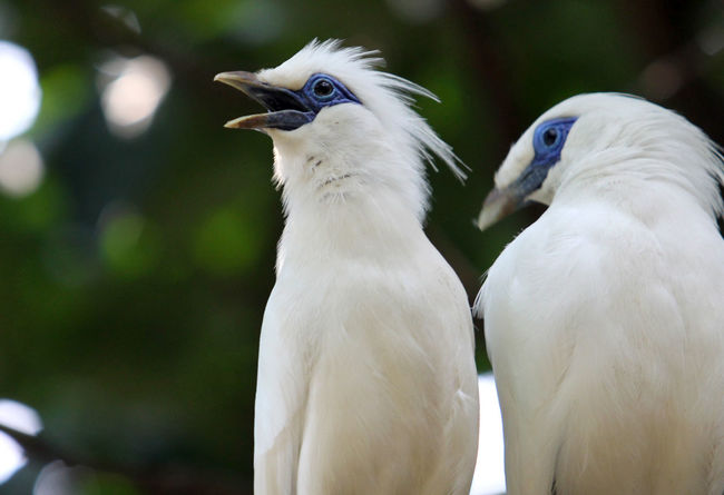 Bali Starling Bird Animal Themes Animals In The Wild Bali Beauty In Nature Bird Close-up Color Image Couple Animal Curik Bali Endangered Animals Focus On Foreground INDONESIA Nature No People Starlight Wild