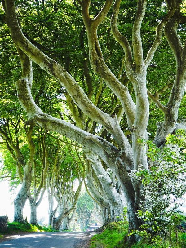Northern Ireland Gameofthrones DarkHedges Tree Trunk Trees Secret Secret Places Nature Beauty In Nature Adventure Alien Sightseeing Perspective Perspectives Green Color Forest Best  Wildireland Wild Moments Outstanding Magic