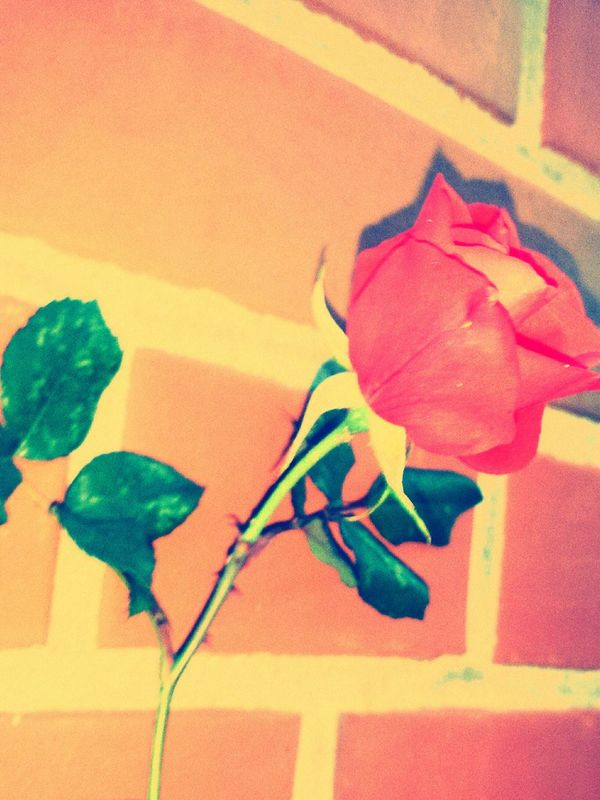 Rose🌹 Warmhearted First Eyeem Photo
