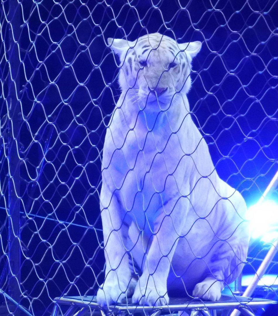 Circus Circusimages Tiger Animals Posing Show Ringling Bros