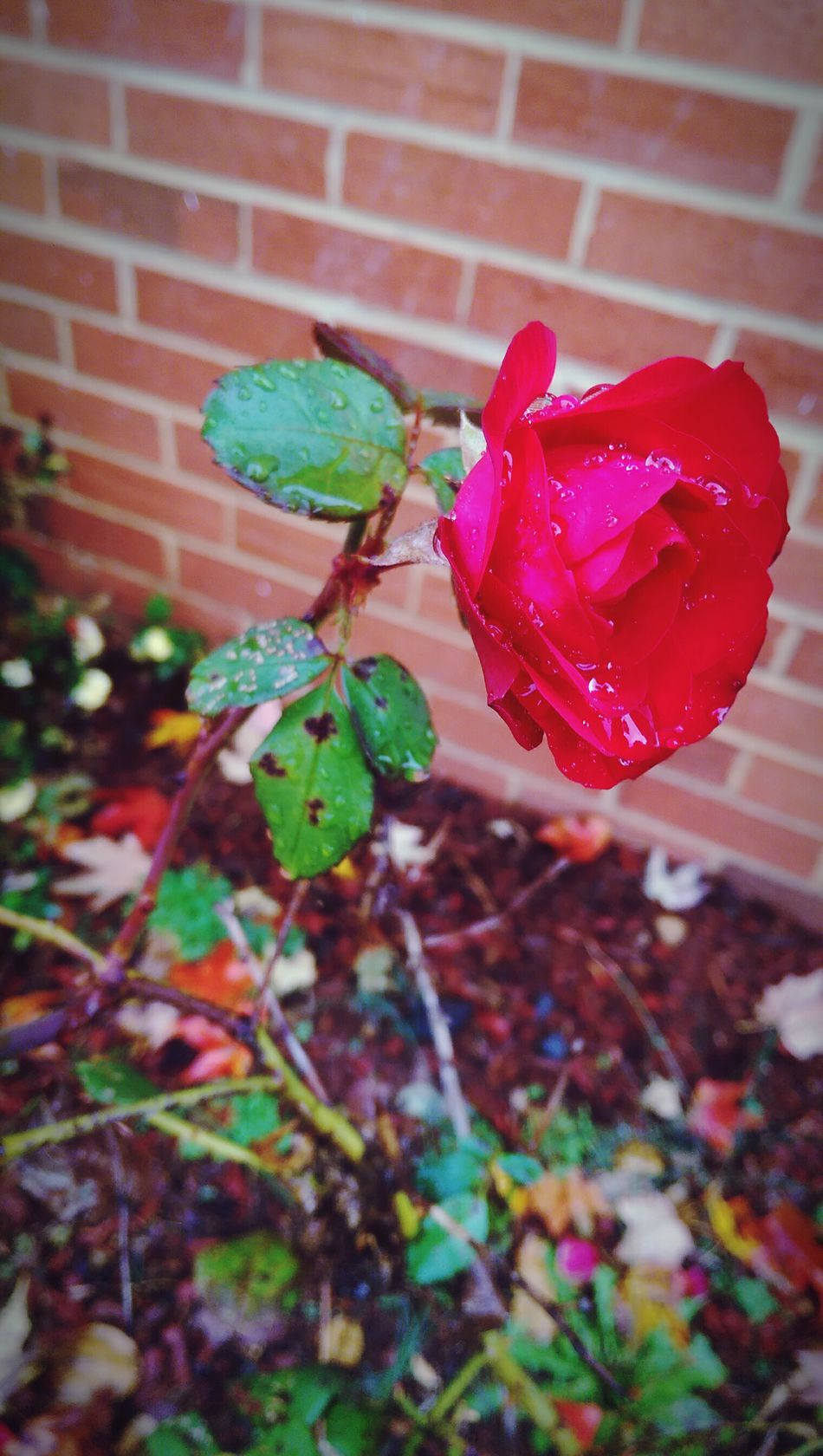 Roses🌹 Rosé Rose🌹 Red Nature Flower Beautiful Beauty Natural Pic2 Different Angle Pic Rain DeadRoses Rosey Check This Out Relaxing Auttumn Rainy Colored Closeup