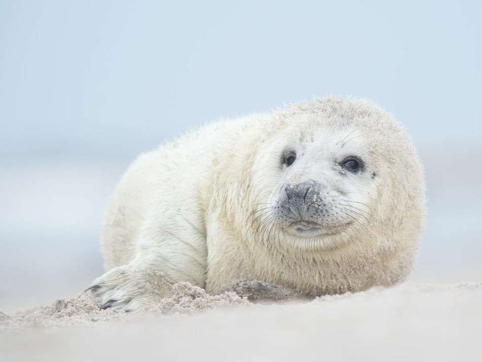 Baby seal on the beach Animal Wildlife Animals In The Wild Baby Seal Baby Seal Resting, Big Sur California Cold Temperature Cute Animals Day Looking At Camera Mammal Nature No People Outdoors Polar Climate Seal Snow White Color Winter