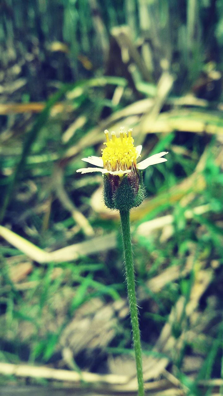 flower, growth, nature, fragility, plant, beauty in nature, stem, close-up, yellow, flower head, outdoors, field, freshness, no people, day, blooming, grass