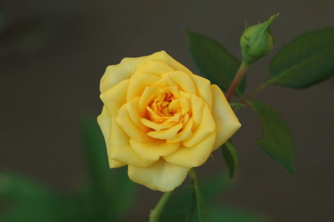 Thank you dear friends for your likes, kind comments and followings! Be happy and healthy!💖 Roses Flower Nature Beauty In Nature Yellow Flower Vibrant Color Blossom Close-up Macro Single Rose Yellow Rose Plant In Bloom Beautiful