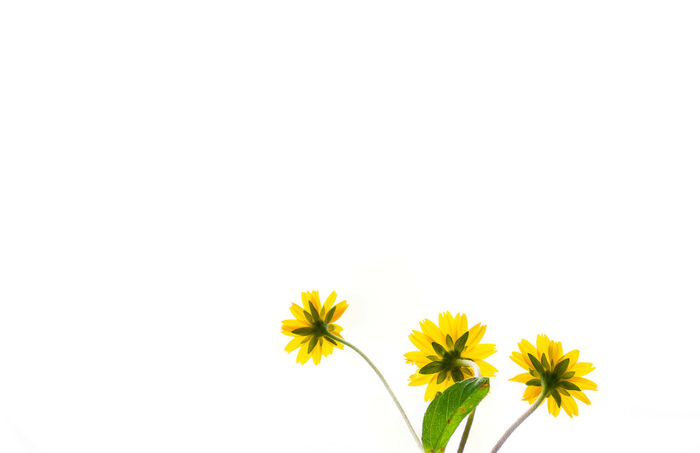 Beauty In Nature Flower Flower Head Growth Nature Petal Plant Star Flower White Background Yellow