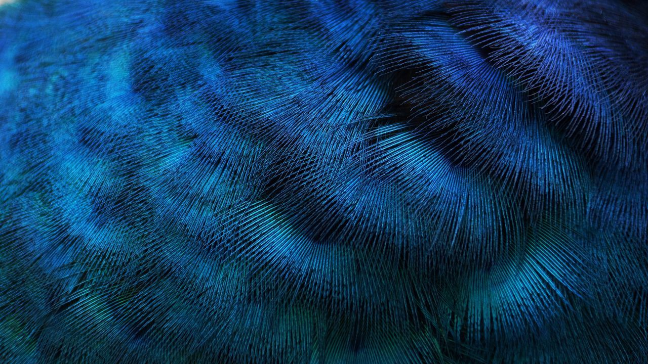 Blue Feather  One Animal Backgrounds Close-up Full Frame No People Animal Themes Animal Wildlife Bird Animals In The Wild Nature Beauty In Nature Peacock Feather Peacock Outdoors Day Nature