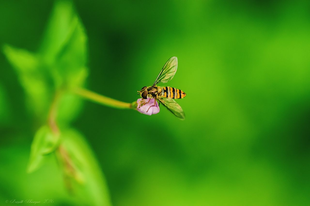 Insect One Animal Animal Themes Animals In The Wild Wildlife Close-up Focus On Foreground Animal Wing Nature Flower Pink Color Plant Pollination Eye Em Nature Lover Outdoors Syrphe Syrphid Fly Beauty In Nature Flying Zoology Fragility Day No People Green Color Springtime
