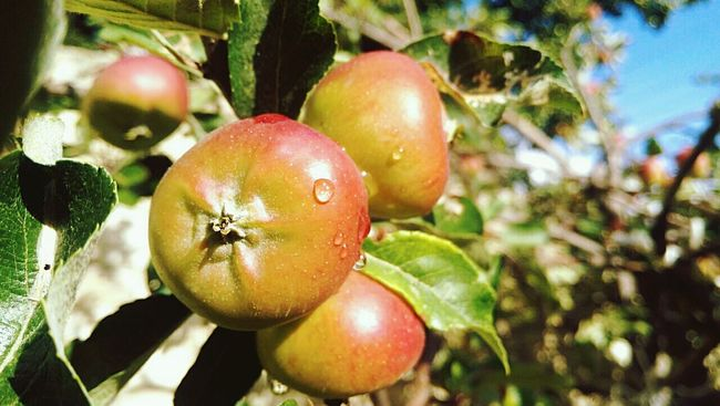 Kërrc - Kërrc 😀 Apples Morning Light Apple Trees  Slow Breathing Redish Fresh Produce Morning Walk Big One Autumn Colors My Best Photo 2015