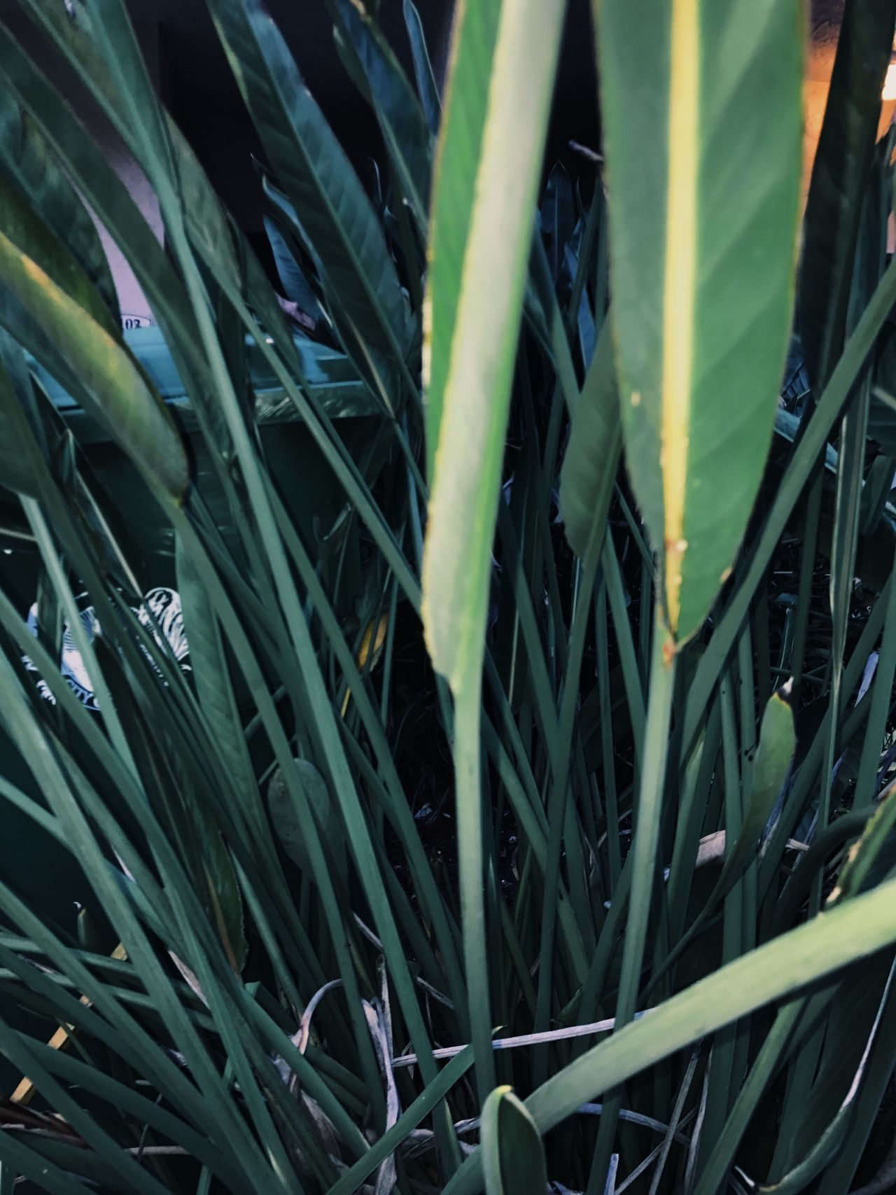 Growth Green Color Plant Leaf Grass Nature No People Close-up Day Beauty In Nature Agriculture Outdoors Bamboo - Plant Freshness