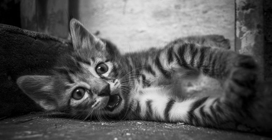 The Cat Warning Alertness Animal Animal Eye Animal Themes Blackandwhite Cat Curiosity Domestic Cat Feline Kitten Looking At Camera Monochrome Perspective Pets Whisker