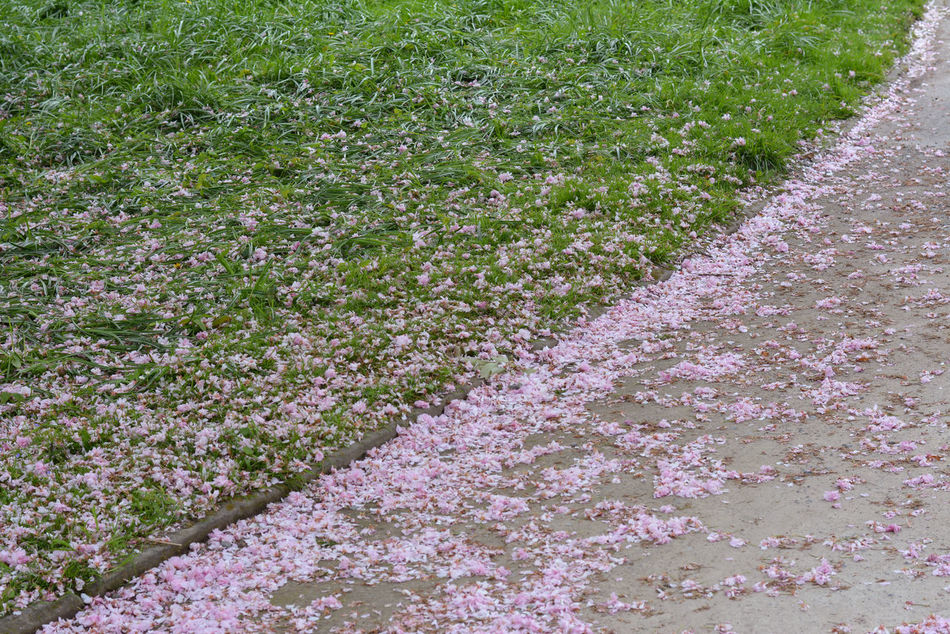 Backgrounds Beauty In Nature Close-up Day Field Flower Flower Head Fragility Freshness Full Frame Grass Green Color Growth Lines Lines And Shapes Nature No People Outdoors Path Petals Pink Pink Leaves Pink Petals Plant Tranquility