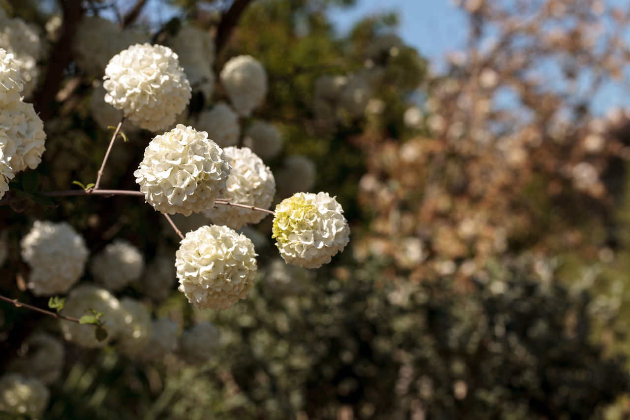 Chinese snowball tree in bloom with white flowers Viburnum macrocephalum in spring Beauty In Nature Blossom Chinese Snowball Tree Close-up Day Flower Flower Head Flowers Focus On Foreground Fragility Freshness Growth Nature No People Outdoors Plant Snowball Tree Springtime Tree Viburnum Macrocephalum
