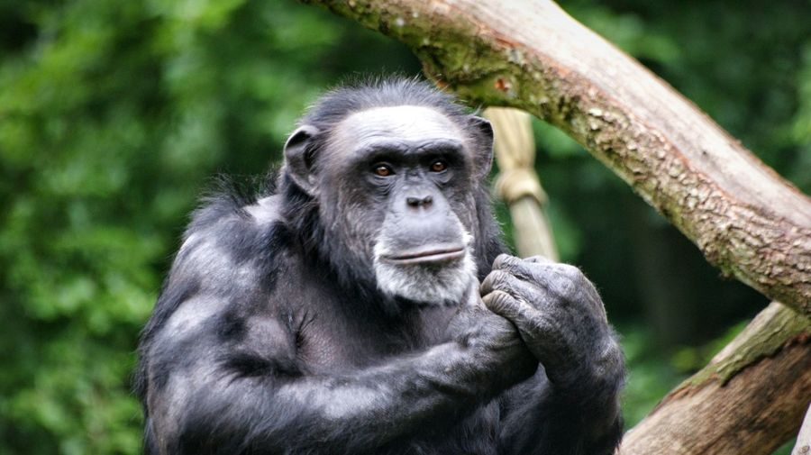 Chimpanzee... Chimpanzee Primates Primate Animal Animals Wildlife Wildlife & Nature Nature Zoo Zoo Animals  Taking Photos Daylight EyeEm Best Shots - Nature EyeEm Nature Lover Eyem Best Shots Tree Beautiful Creature Creature Monkey Day Green Thinking Hands Face Eyes