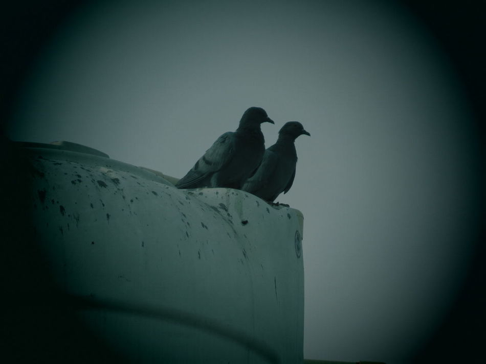 Made for each other! Pigeonslife Together Sitting Synch