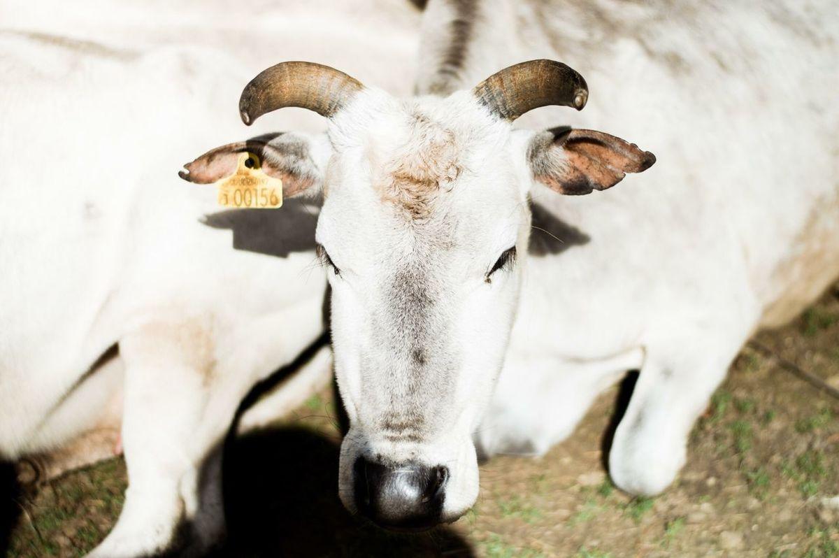 Cow Animals Popular Photos Eyem Best Shots