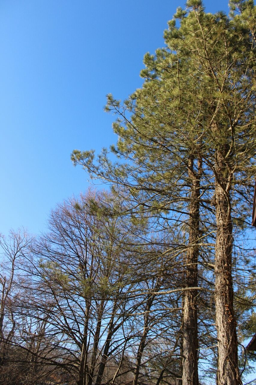 tree, growth, nature, branch, tree trunk, clear sky, tranquility, low angle view, no people, beauty in nature, outdoors, day, sky