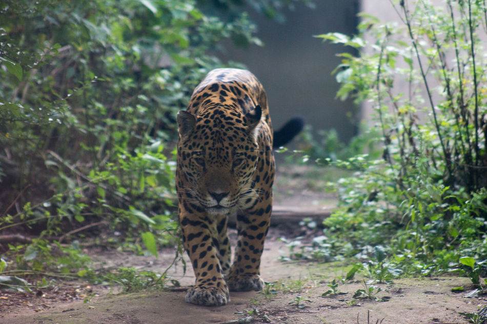 Beautiful stock photos of leopard, Animal Themes, Animals In The Wild, Austria, Day