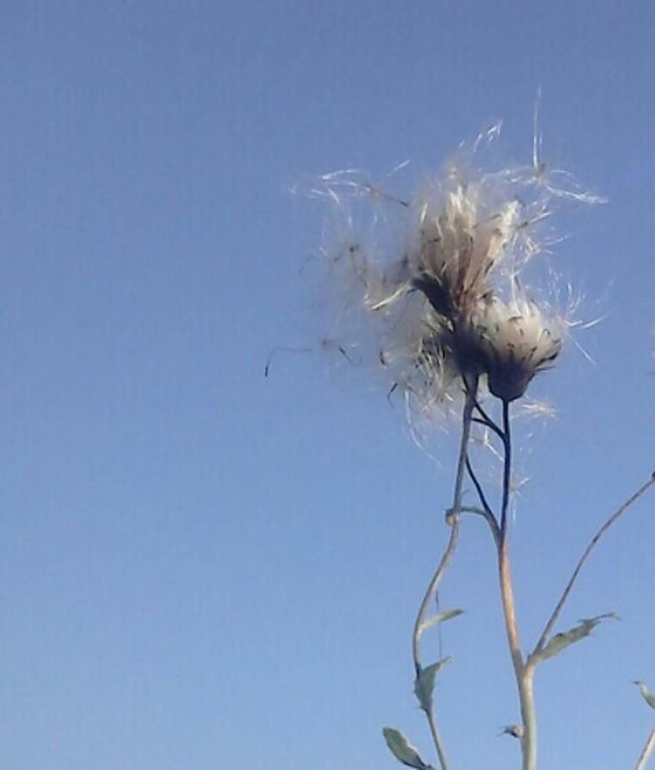 The Blue Side Of My Life Nofilter Simple Things Pusteblume Taken From Smartphone Camera Naturpur Minimalobsession