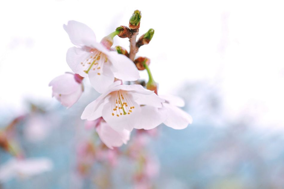 Beautiful stock photos of easter, Blossom, Cherry Blossom, Close-Up, Day