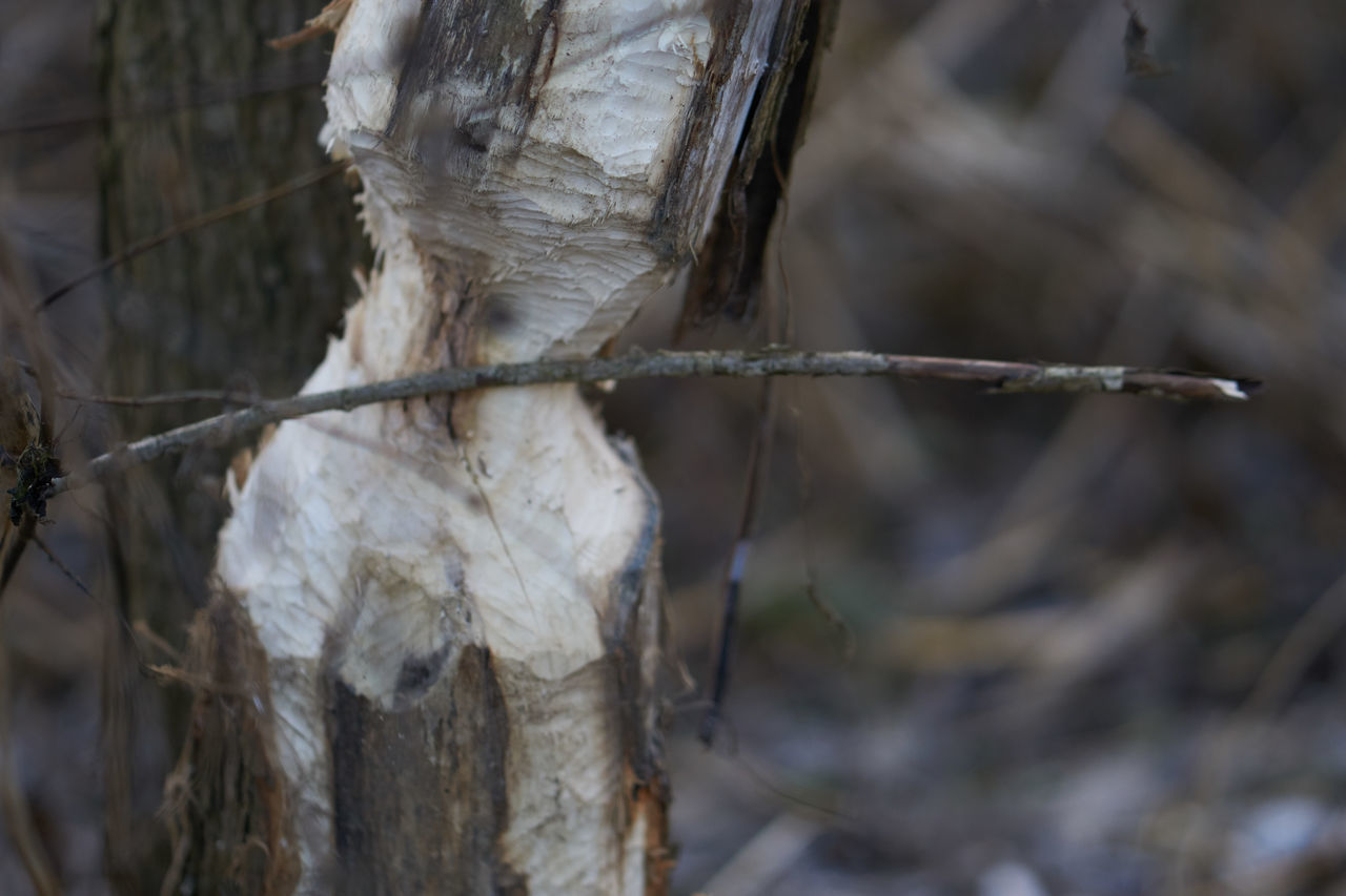 Austria Beaver Beaver Work Biber Branch Close-up Day Focus On Foreground Nature No People Outdoors Sinabelkirchen Tree Tree Trunk Winter