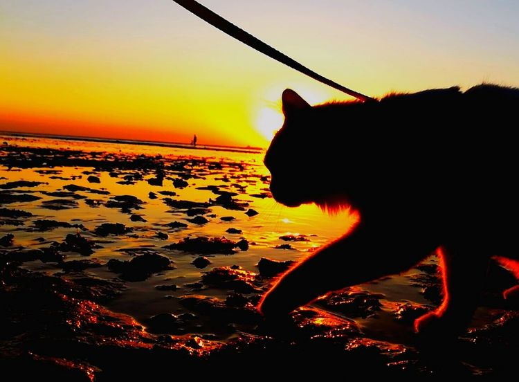 Animal Themes Cat On Water Cat Walking Cat On The Sea Cat On The Beach Cats Of EyeEm Outdoors Cat Photography One Animal Beach Water Sea Sunset Silhouette Gold Colored Day Beauty In Nature Sky And Sea Sea And Rocks Pets Mylovelycat❤ Cats 🐱 Nature Light And Darkness  Totssy 😍4Nov_2017