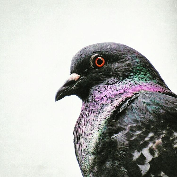 Pigeon Colorful Eyemcaptured Capturing Freedom Eyemnaturelover PhotoCollection Eye4photography  Follow Me I'll Follow Back Photo Editing Photography Is My Escape From Reality! From Myanmar