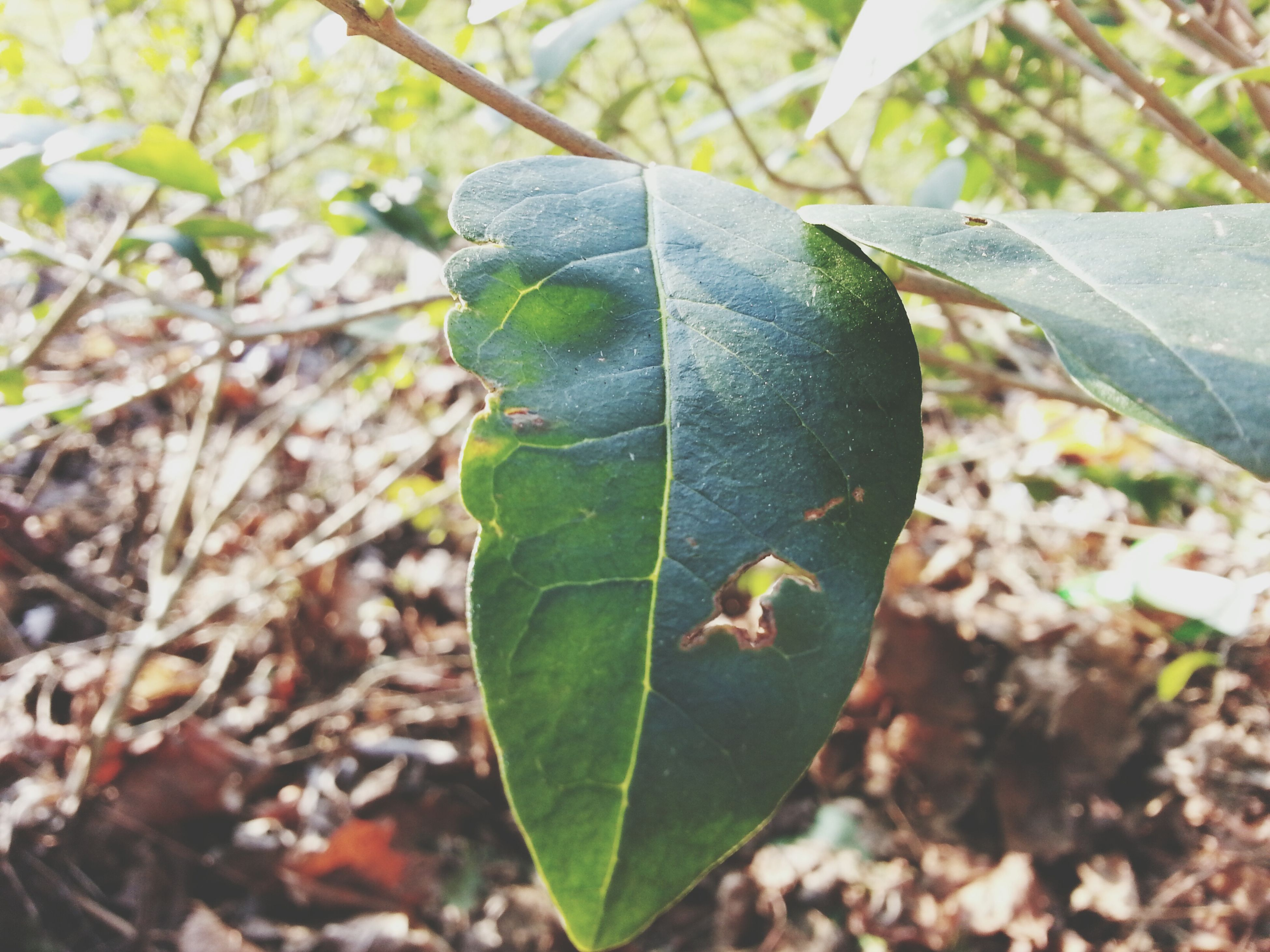 leaf, close-up, leaf vein, focus on foreground, leaves, nature, season, autumn, selective focus, dry, day, change, growth, green color, natural pattern, outdoors, no people, plant, fragility, beauty in nature