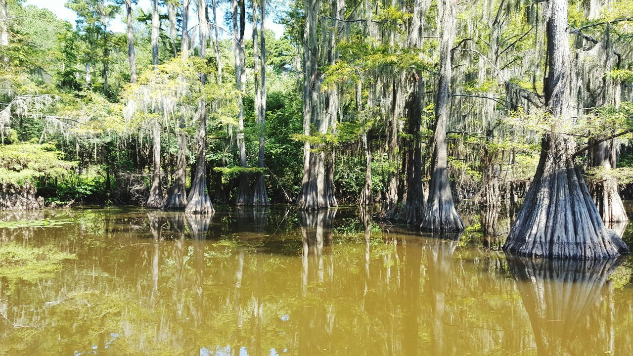 Cypress Trees  Caddo Lake Lake