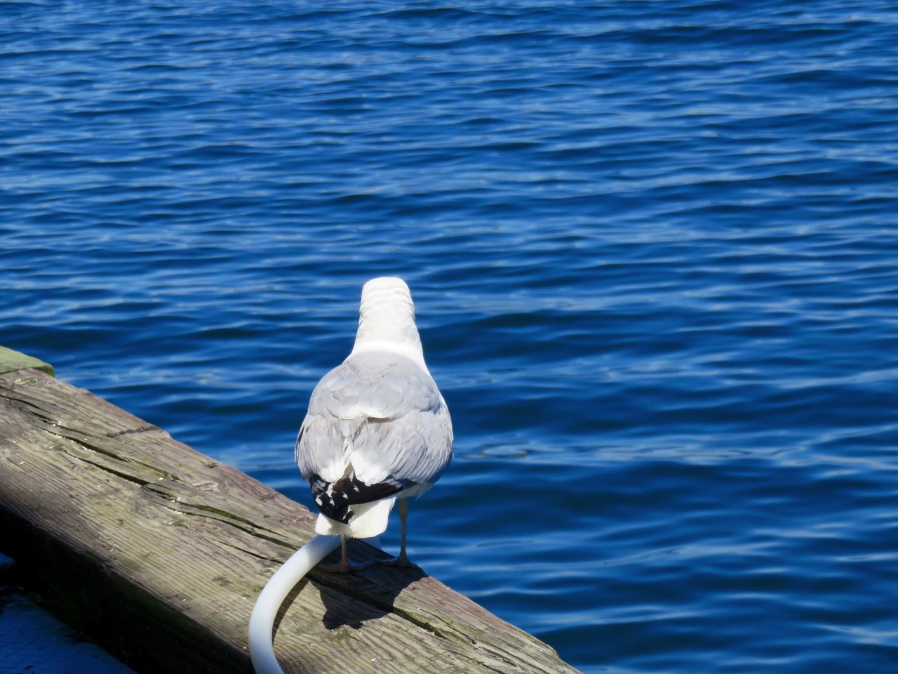 Seagull Looking Out to Sea Sitting on Wood Dockside Back View Beauty In Nature Bird Blue Close-up Day Feather  Focus On Foreground Looking Out To Sea. Nature No People Outdoors Perching Rippled Seagull Tranquil Scene Tranquility Water Waterfront Wildlife Wooden Post A Bird's Eye View