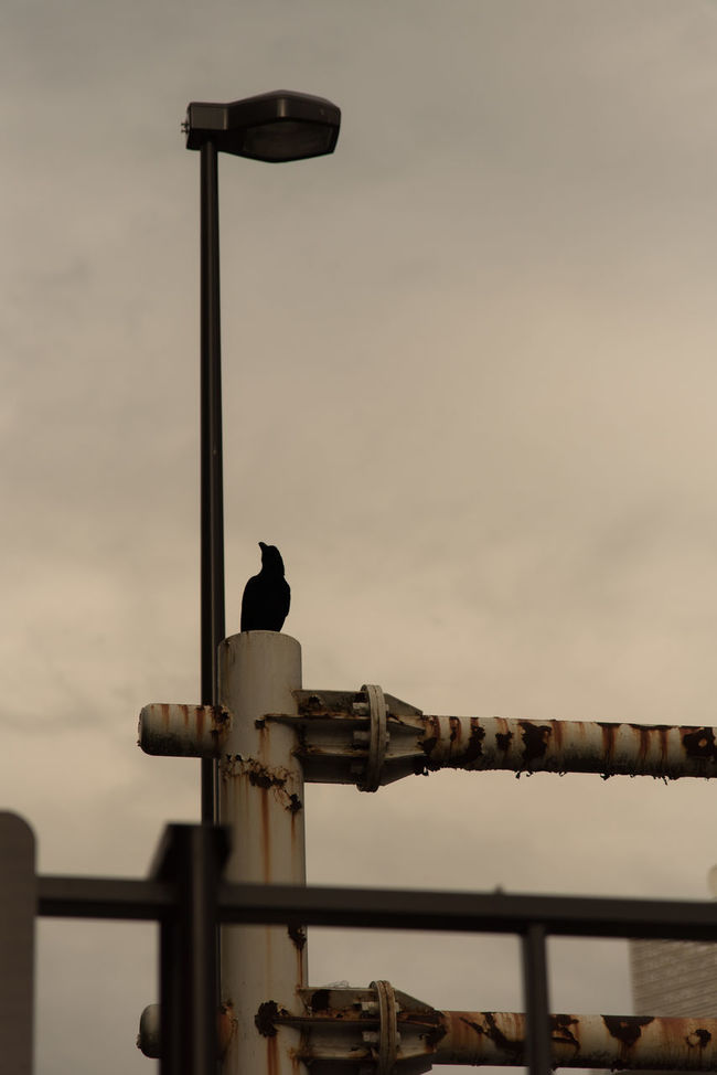 Before rain Bird City Cityscapes Cloud Cloud - Sky Cloudy Crow Day Focus On Foreground High Section Light Lighting Equipment Low Angle View Nature No People Outdoors Perching Pole Rain Rei Rust Rusty Sky Street Light Weather