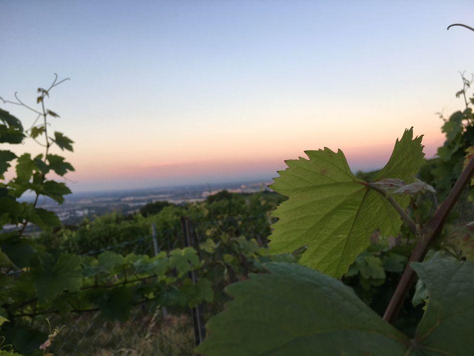 Vineyard Wine Leaves Wine Culture