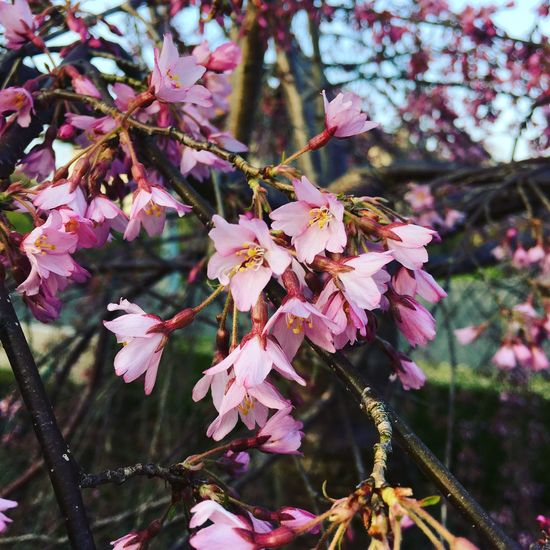 Cherry Blossoms in my Garden means Spring is coming ❤️🇧🇪