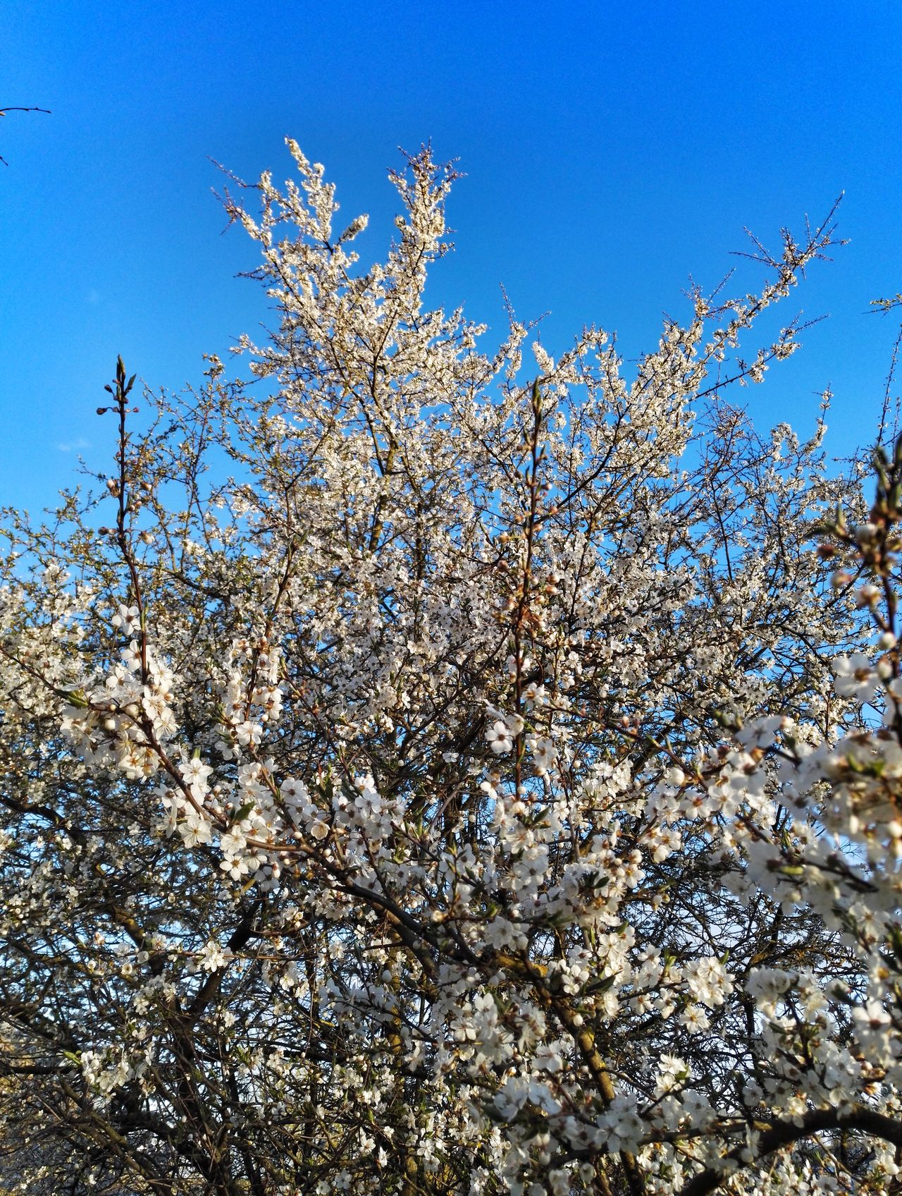 Nature Blue Day Flower Low Angle View Beauty In Nature Sky Clear Sky Fragility Tree Apple Tree Apple Blossom Springtime White Color Sky_collection Tree
