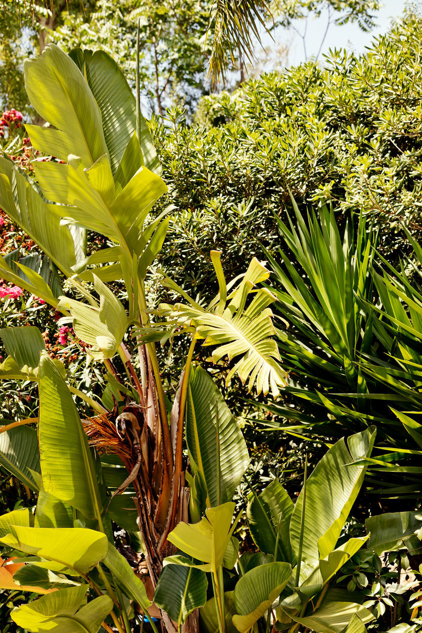 growth, leaf, plant, green color, banana tree, nature, no people, outdoors, day, agriculture, beauty in nature, sunlight, tree, freshness, close-up