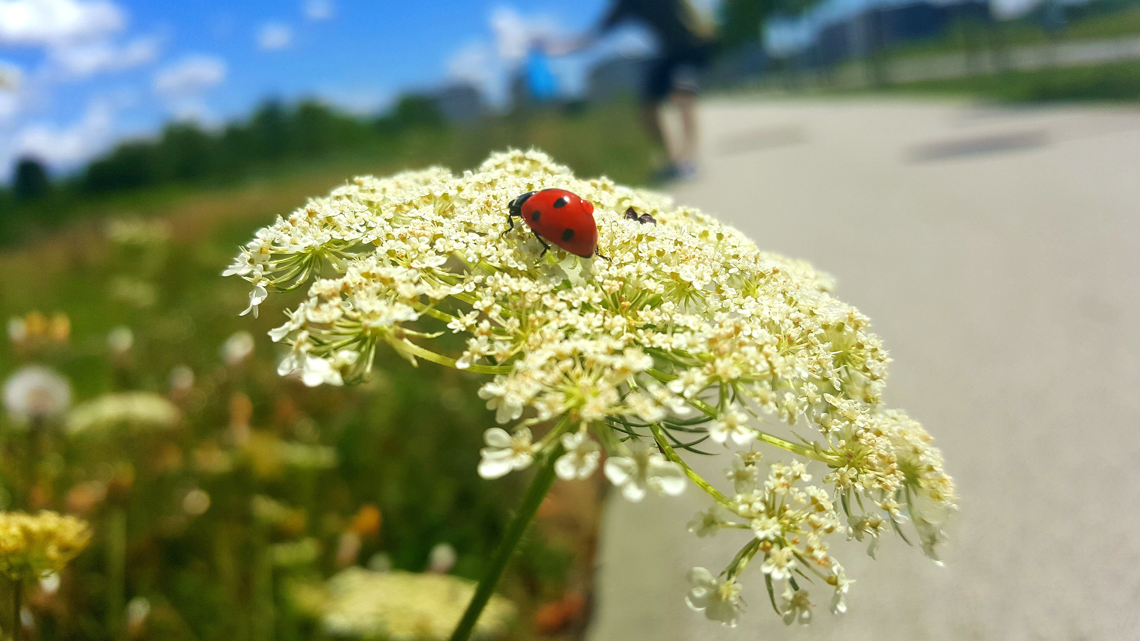 one animal, insect, flower, animal themes, animals in the wild, nature, ladybug, focus on foreground, day, fragility, close-up, no people, tiny, beauty in nature, outdoors, plant, red, animal wildlife, growth, flower head, freshness