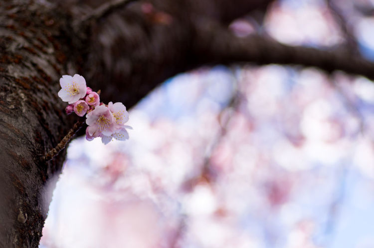 Beauty In Nature Blooming Blossom Branch Close-up Day Flower Flower Head Fragility Freshness Growth Nature No People Outdoors Petal Springtime Tree Tree Trunk White Color