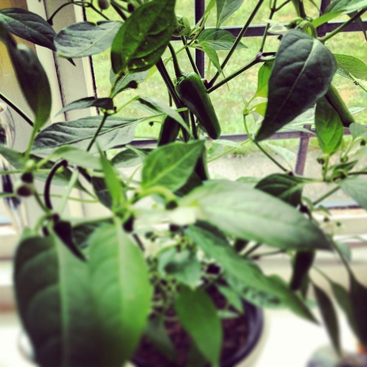 Chillipepper Chilli Plants Green Leaves Green In Bloom