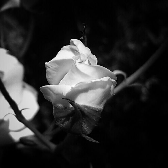 Roses Bnw_collection Monochrome Blackandwhite Photography Black And White