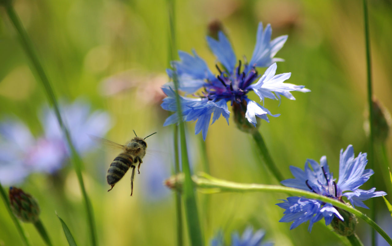 Close-Up Of Bee Flying Around Flowers