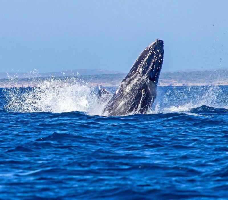 Humpback Whale Australia Ocean Wildlife