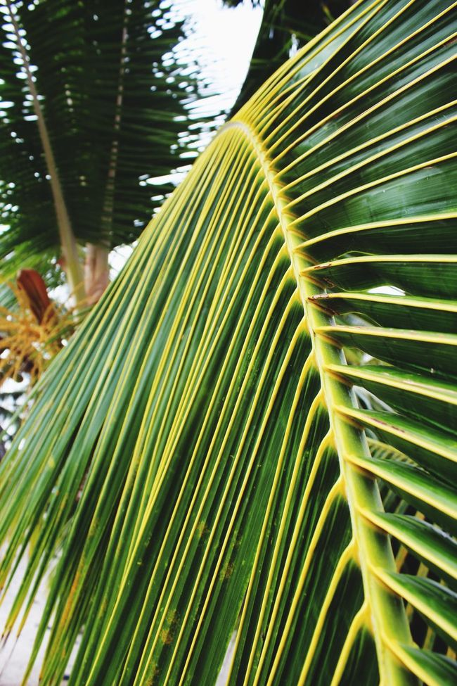 Hawaii Big Island Green Color Leaf Close-up Natural Pattern Plant Green Selective Focus Beauty In Nature Tropical Climate Palm Leaf