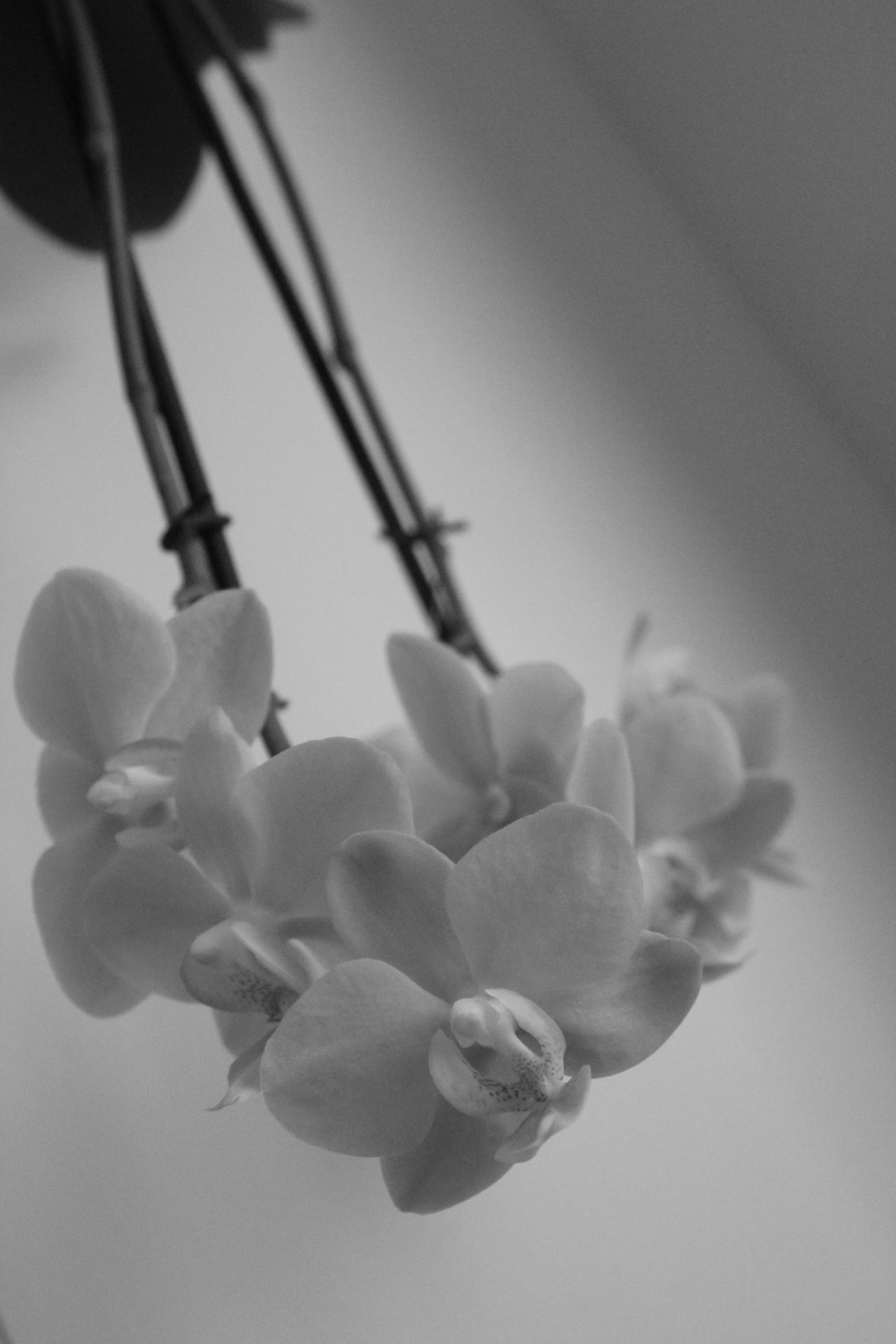 Beauty In Nature Black & White Black And White Blossom Blossoms  Close-up Flower Flower Head Flowers Growth Nature No People Orchid Orchid Blossoms Orchids Over Head Plant