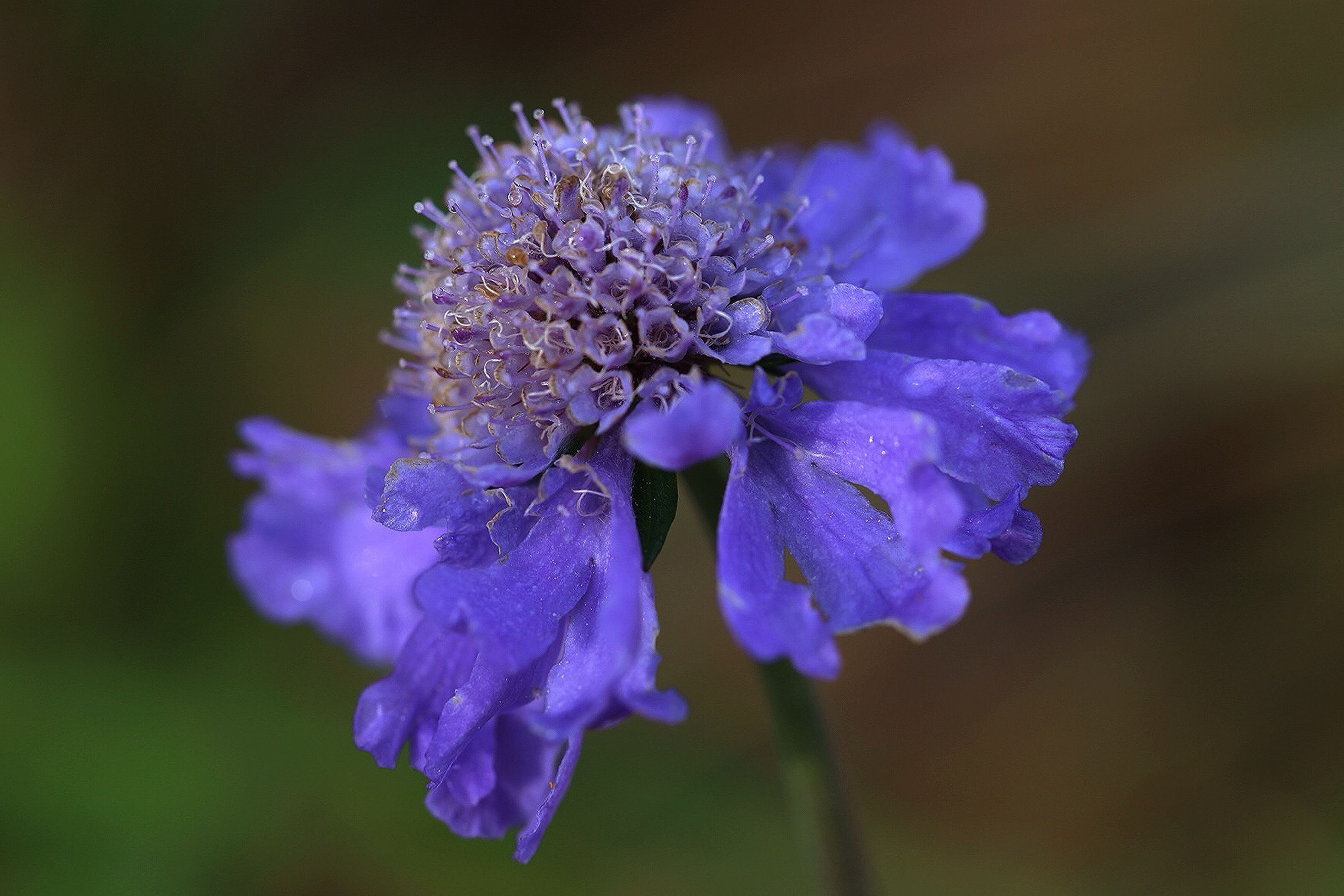 flower, freshness, fragility, petal, purple, flower head, close-up, growth, beauty in nature, focus on foreground, nature, blooming, plant, in bloom, selective focus, blossom, springtime, drop, season, outdoors