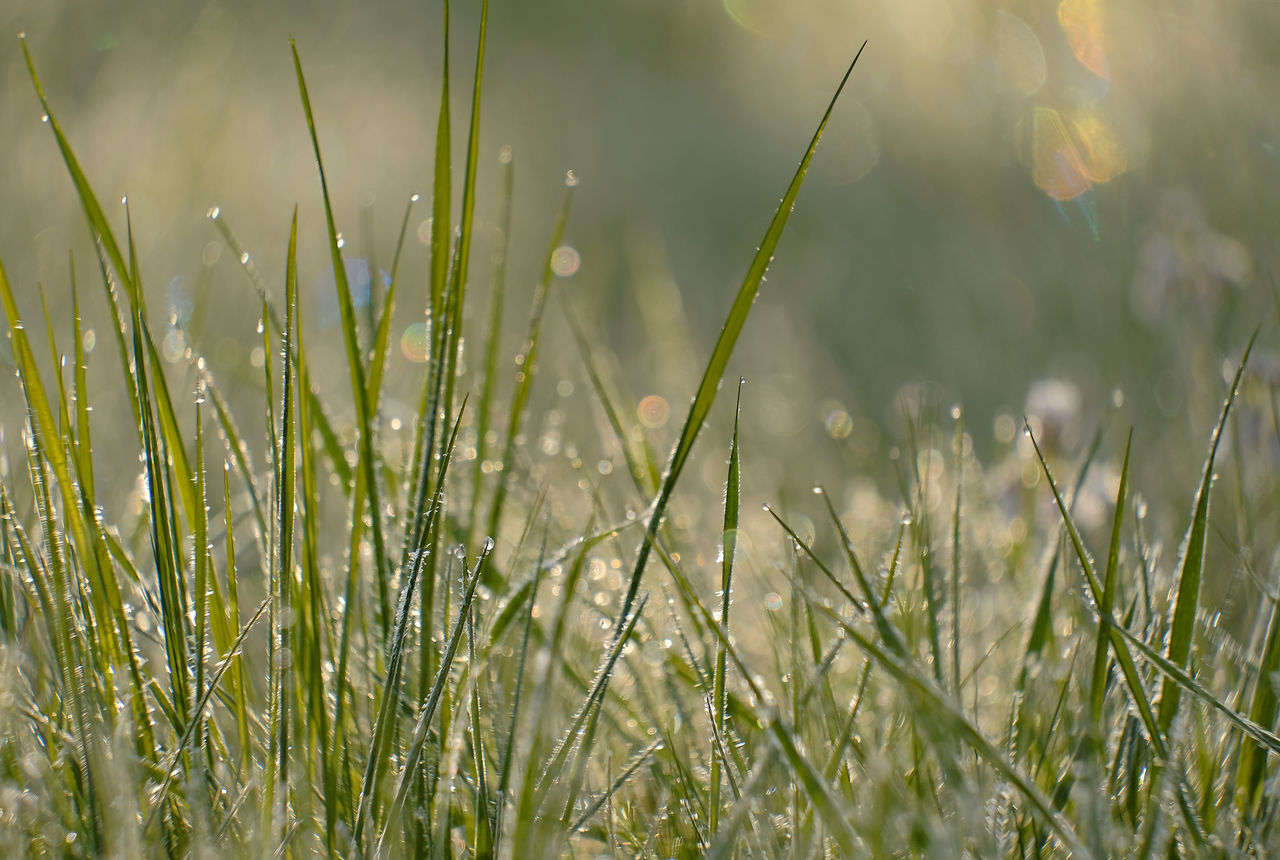 Beauty In Nature Blurred Background Close-up Copy Space Day Early Morning Field Freshness Grass Grass Blades Green Color Growth Nature No People Outdoors Plant Tranquility Water Drops Water Drops On Grass Blades White Frost White Frost On Grass Blades